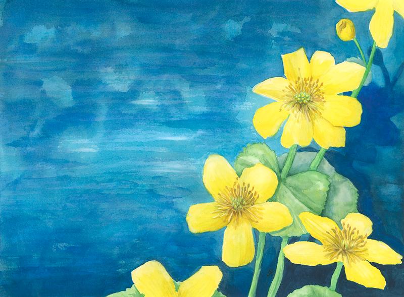 Golden Marsh-marigold (2020)